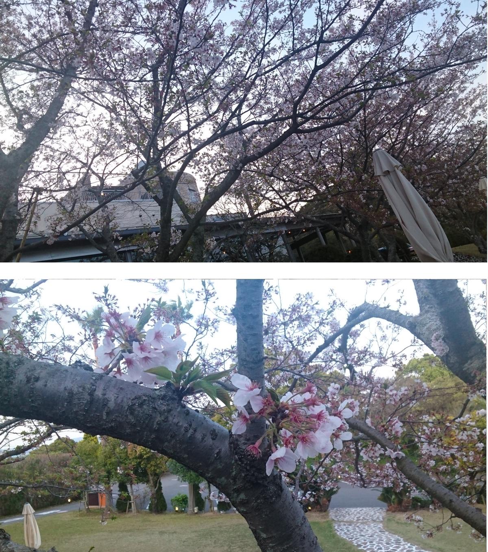 桜 木01